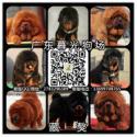 供应藏獒幼犬 广州藏獒犬大概多少钱 广州藏獒犬价格 暮光狗场
