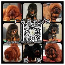 供应藏獒幼犬广州藏獒犬大概多少钱广州藏獒犬价格暮光狗场批发