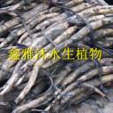 供应种藕批发厂家,厂家种植王莲,香蒲,水葱,莲子,水藻,荇菜等