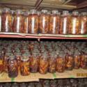 供应用于基地的什么季节培养天麻蜜环菌