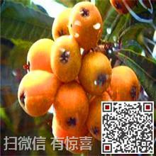2015苏州白玉枇杷销售图片