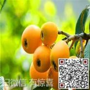 东山白玉枇杷种类图片