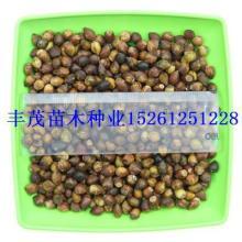 供应曼地亚红豆杉种子 曼地亚红豆杉种子价格怎么卖图片