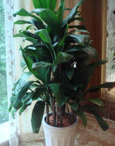 供应茶楼植物租赁