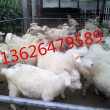 供应白山羊价格,白山羊羔羊,白山羊羔羊价格