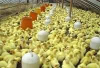 供应河南火鸡苗厂家,河南火鸡苗厂家,河南火鸡苗价格