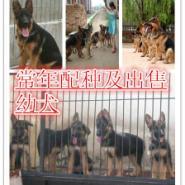 北京哪里有卖纯种德国牧羊犬的图片