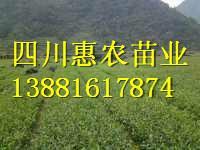供应黄金茶苗厂家,黄金茶苗厂家哪里有,四川惠农苗业,雅安黄金茶苗批发电话