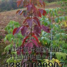 供应滨州最新彩叶绿化树苗有什么品种,滨州地区种植什么前景好效益高图片