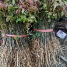 高栾树苗、云南栾树专业种植基地 高栾树苗