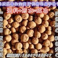 花魔芋魔芋种子农业产品