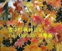供应红枫弗拉基米尔州红枫黄金枫,俄罗斯奥卡河红枫、克利亚济马河三季红批发
