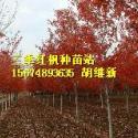 远东联邦管区三季红枫图片