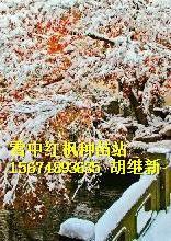 供应红枫鄂木斯克州红枫,西西伯利亚平原的南部红枫最红,红枫三季红枫种