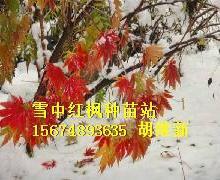 供应AY1红枫奥尔斯克,伊希姆拜红枫最红最耐寒零下76度长势最快最耐病害