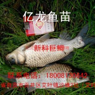 宏丰2鲫鱼鱼苗丰产鲫图片