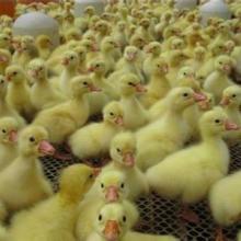 供应鹅苗出售