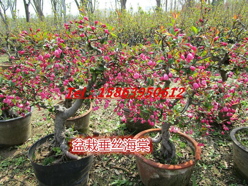 供应冬红果盆景.木瓜长寿冠.木瓜西府海棠盆景