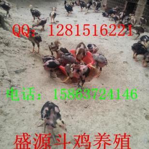 出售1-3个月纯种越南斗鸡苗·图片