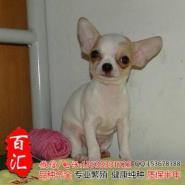 广州哪里有卖纯种吉娃娃幼犬图片