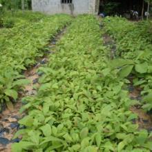 广西柚木苗种植园供应种植基地报价批发价哪里有批发