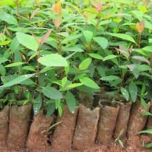 供应桉树批发商